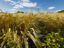 Field of wheat in sunny whether Stock Image