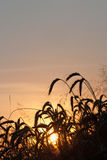 Field of wheat on sunset royalty free stock photos