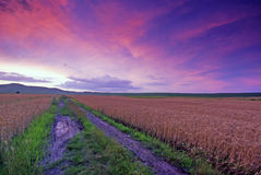 Field of wheat at sunset Royalty Free Stock Photos