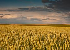 Field with wheat and sunset Stock Photos