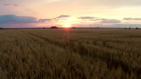 Field with wheat at sunset stock video footage