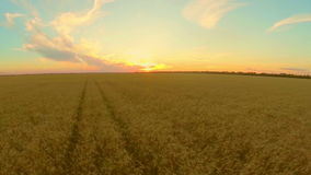 Field with wheat at sunset stock video
