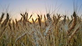 Field of wheat. Sunset field of wheat Stock Photo