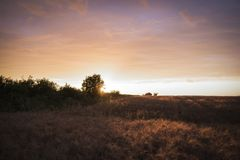 Field with wheat at sunset.  royalty free stock photo