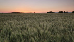 Field of wheat at sunset stock video
