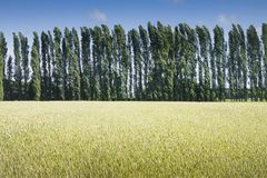 Field of wheat at sunset with cypress poplar on background. Stock Photo