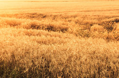 Field of wheat at sunset Stock Images