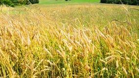 Field of wheat on sunset stock video