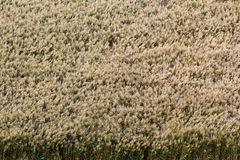 Field of wheat. A field of wheat swaying in wind Royalty Free Stock Photo