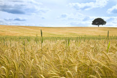 Field of Wheat and Tree On The Horizon Stock Photography