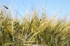 Field of wheat under azure sky Royalty Free Stock Image