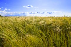 Field of wheat under azure sky Royalty Free Stock Photos