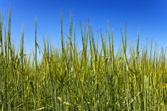 Field of wheat under azure sky.Close up Stock Image