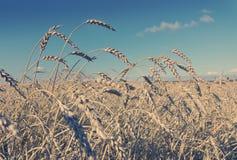 Field of wheat under azure sky, Stock Photo