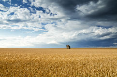 Field of wheat under a blue sky Royalty Free Stock Photos