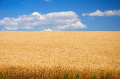 Field of wheat under blue sky Stock Photo