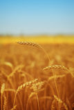 Field of wheat under blue sky Royalty Free Stock Images