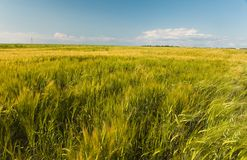 Field of wheat under the lee Royalty Free Stock Photo