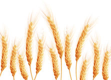 Field of wheat on white. EPS 10 Royalty Free Stock Photography