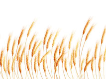 Field of wheat on white. EPS 10 Royalty Free Stock Photo