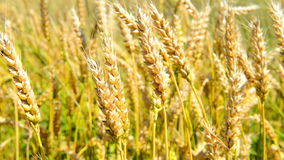 Field of wheat on the wind stock video