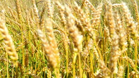 Field of wheat on the wind stock video footage