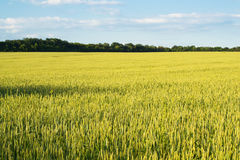 Field of wheat. Yellow wheat field and blue sky Royalty Free Stock Photos