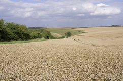 Field of Wheat on Yorkshire Wolds Royalty Free Stock Images