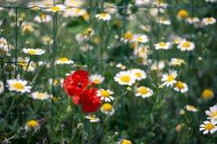 Poppies among daisies royalty free stock photos