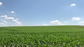 The field on which young corn is grown. Green agricultural landscape. stock video footage