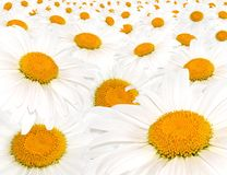 Field white camomile Royalty Free Stock Photos
