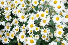 Field of white chrysanthemum. Stock Photos