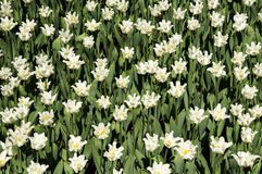 The field of white curly tulips. Background of white curly tulips. Background women`s day stock photos