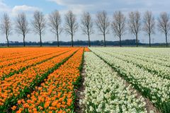 Field of  white daffodil  in Holland , spring time colourful flowers. Field and white daffodil in Holland , spring time royalty free stock photography