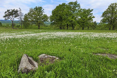 Field of white daffodils Royalty Free Stock Photo