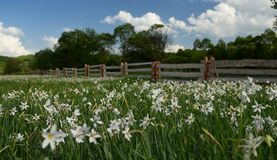 A field of white daffodils blooms against a sky with clouds surrounded by a wooden fence, behind which tall green trees grow royalty free stock photos