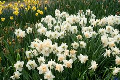 Field with white daffodils spring flowers, soft focus.  Royalty Free Stock Photography