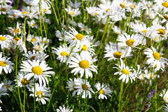 Field of white daises Royalty Free Stock Photo