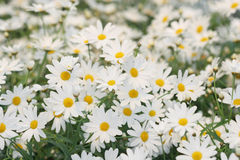 Field of white daisies stock photos