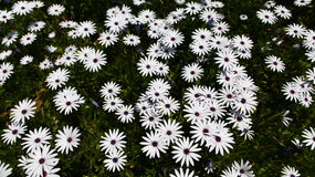 Field of White Daisies Stock Images