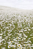 Field of White Daisies. Large field of wild white daisies Royalty Free Stock Photography
