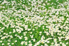 Field of white daisies Stock Photo