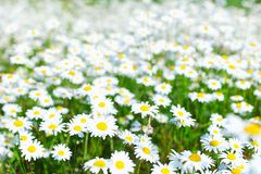 Field with white daisies Royalty Free Stock Photos