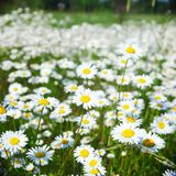 Field with white daisies Stock Image