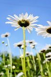 Field of white daisies on blue sky background Stock Image