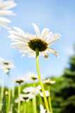 Field of white daisies on blue sky background Royalty Free Stock Image