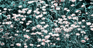 Field of white daisies Royalty Free Stock Image