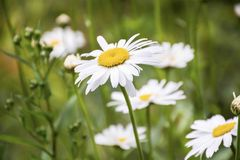 Field of white daisies on a green backgroun Royalty Free Stock Photo
