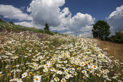 Field of white daisies in the mountain Royalty Free Stock Image