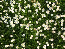 Field of white daisies, natural background stock photos